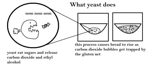 2abcc-yeast